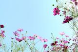 コスモスの花 青空