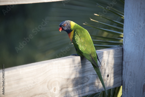 Lorikeets on the fence