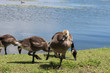 Canadian geese and little goslings of Kingston's lake Ontario
