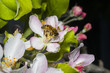 Western honey bee or European honey bee (Apis mellifera)