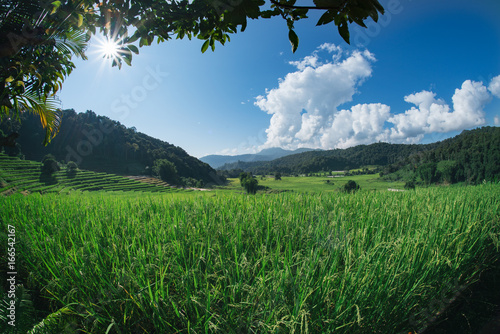 Tuinposter Rijstvelden Rice field green grass clear sky