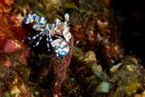 Harlequin shrimp hymenocera elegans picta close up