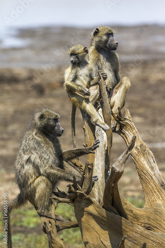 Chacma baboon in Kruger National park, South Africa Poster