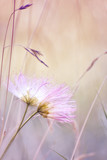 Two gentle pink fluff flowers nestled against each other on a gentle soft background. The idea of feelings, love, tenderness. Soft focus.  - 166565155