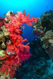 Red soft coral over the coral garden in Ras Mohammed national park