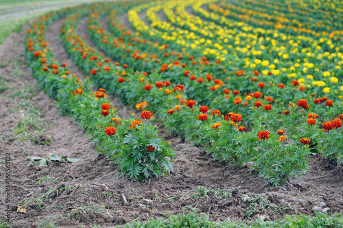 Fields of yellow and orange marigold flowers planted in rows