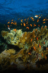 School of sea goldie fish swim over the fire coral in shaab abu nuhas