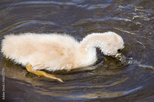 Baby swans in Petite Camargue, on the pond of Berre en Provence