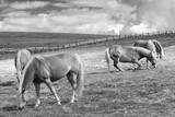 wypasanie koni