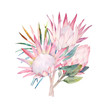 Watercolor bouquet. Protea flowers and tropical leaves. Hand drawn illustration - 166592108