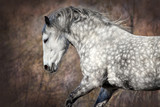 Szary koni z długą grzywą grany w ruchu