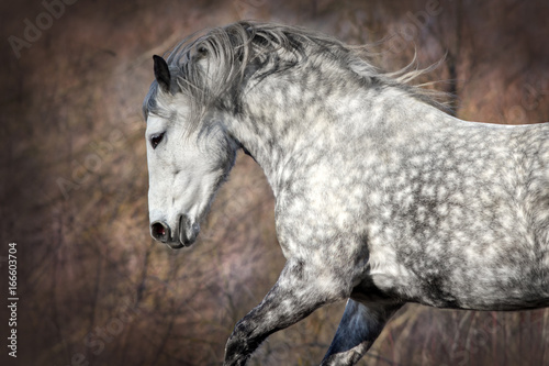 Grey horse with long mane portrait in motion