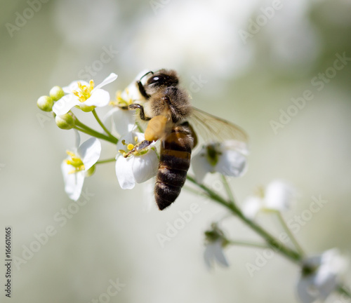 Foto op Aluminium Bee Bee on small white flowers in nature