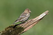 Pine Siskin Perched
