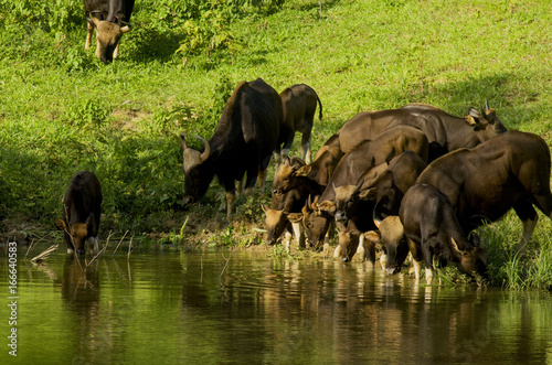 The herd of bison eat the evening water. Poster