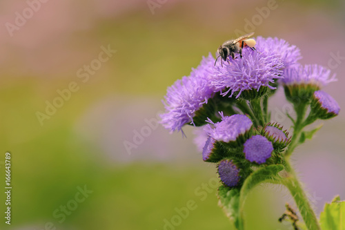 Foto op Aluminium Bee beautiful bee collecting nectar from flower