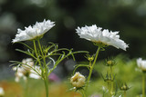 white cosmos flowers blooming in nature