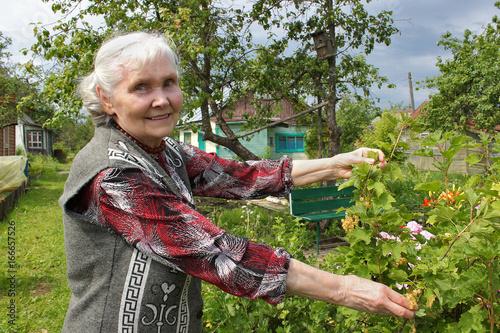 Пожилая женщина стоит у куста белой смородины Poster