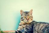 Portret kot syberyjski leżącego w pobliżu drewnianej ściany
