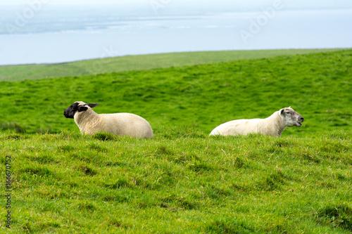Moutons dos à dos Poster