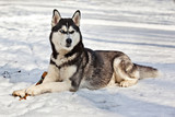 Dog breed Siberian Husky lying in the snow with  a stick