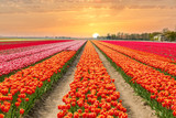 Landscape of Netherlands tulips with sunlight in Netherlands..