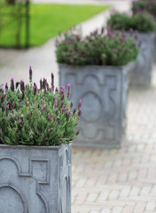 The stone flowerbed with purple lavender flowers