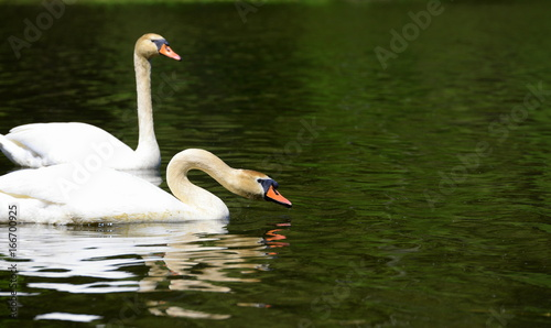 swan couple, two swans in a green shimmering lake