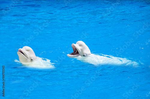 Fototapeta  Beluga whales, white dolphins eating a fish