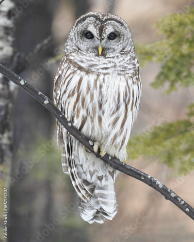 Barred Owl - 166704707