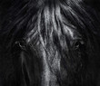 Portrait close up Spanish purebred horse with long mane. Black-and-White photo.