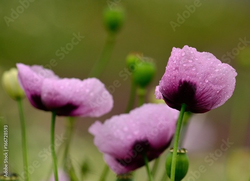 Pink poppies in foreground with rain drops