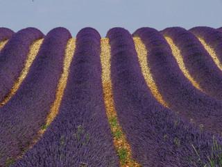 Lavendelreihen