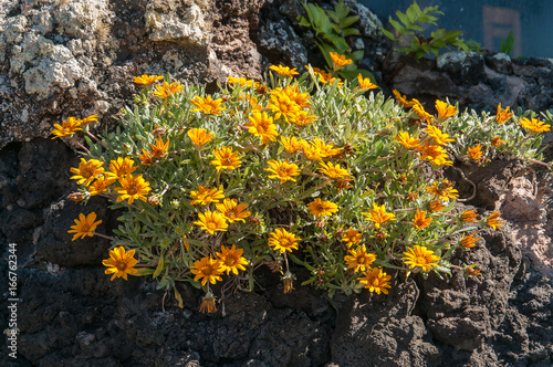 Poster Canarische Eilanden Yellow flowers growing on volcanic rock, Lanzarote, Canary Islands