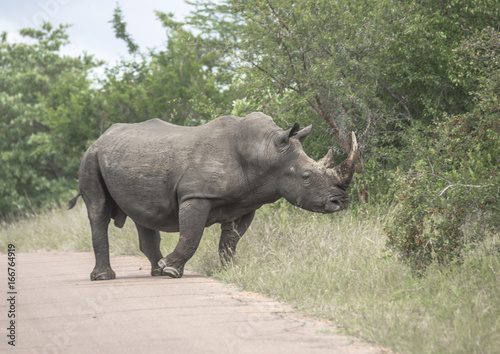 Rhino moving off the road presenting a fine Horne.