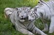 Tigres blancs attendrissants - 166774196
