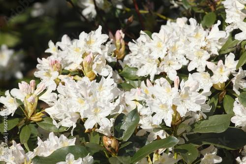 Plexiglas Azalea weisse Rhododendronblüten
