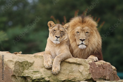 Foto op Aluminium Lion Couple de Lions