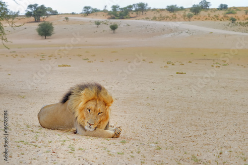 Foto op Aluminium Lion KGALAGADI. Lions (Felis leo) in the kalahari desert, Northern Cape, South Africa