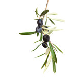 Natural Olive branch with black olives and  leaves  isolated on white background - 166785350