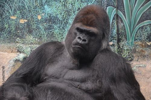 Gorille en colère Poster