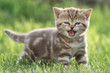 Little cat meowing in green grass - 166786920