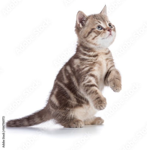 Kitten or cat standing isolated on white