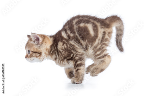 Active running young cat side view isolated