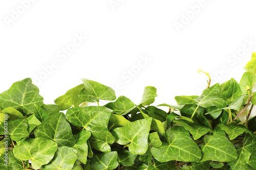 Border made of green ivy isolated on white background Poster
