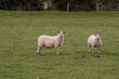 Постер, плакат: Sheep in the field grassland meadow