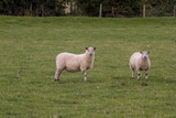 Sheep in the field grassland, meadow. - 166789587