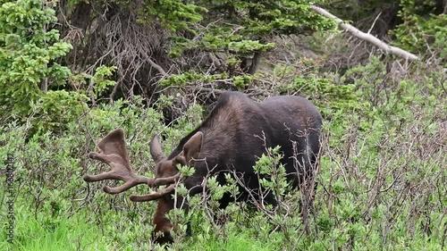 Bull Moose Eating Breakfast in Colorado