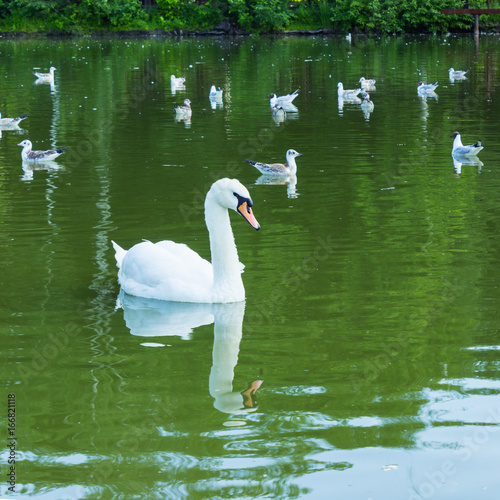 Mute swan and young terns on pond
