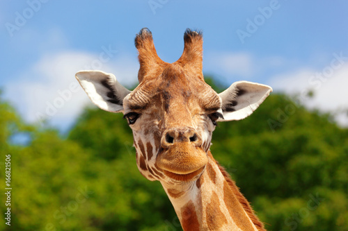 Close-up of a giraffe in front of some green trees and blue sky, looking at the camera as if to say You looking at me? With space for text Poster